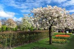 Festival da flor em Keukenhof na mola em março de 2017 Árvore de cereja de florescência Foto de Stock Royalty Free