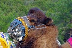 Festival 2019 da luta romana do camelo de Bodrum imagem de stock