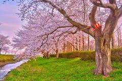Festival das flores de cerejeira em Japão Foto de Stock