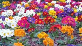 Festival das flores, mola colorida Foto de Stock Royalty Free
