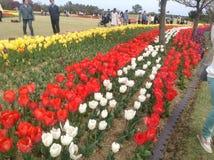 Festival das tulipas Fotos de Stock
