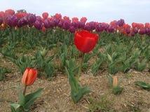 Festival das tulipas Imagens de Stock