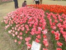 Festival das tulipas Imagens de Stock Royalty Free