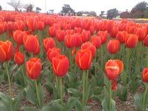Festival das tulipas Imagem de Stock Royalty Free