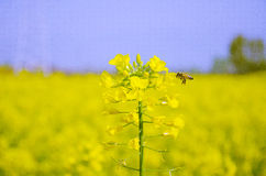 Festival de fleur de canola de Hanzhong Images stock