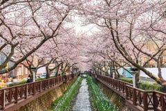 Festival de fleurs de cerisier de ressort, Jinhae, Corée du Sud image libre de droits