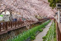 Festival de fleurs de cerisier de ressort, Jinhae, Corée du Sud photographie stock libre de droits