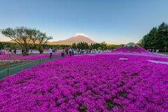 Festival de Fuji Shibazakura Imagen de archivo libre de regalías