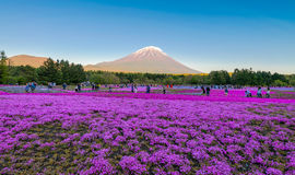 Festival de Fuji Shibazakura Foto de archivo