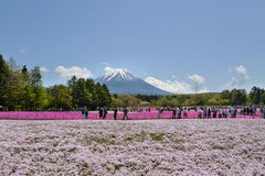 Festival de Fuji Shibazakura, Kawagujiko Japón Foto de archivo libre de regalías