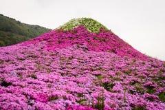 Festival de Japão Shibazakura imagem de stock royalty free