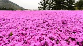 Festival de Japão Shibazakura fotografia de stock royalty free