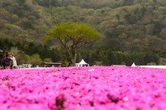 Festival de Japão Shibazakura foto de stock