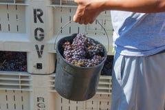 Festival de la cosecha del agolpamiento del vino en Carlton Oregon imagen de archivo