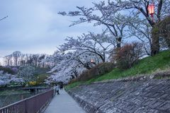 Festival de la flor de cerezo en el parque de Takamatsu, Morioka, Iwate, Tohoku, Japón en April27,2018: Flores de cerezo hermosas foto de archivo