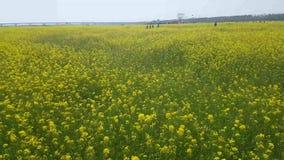 Festival de la flor del Canola de Yuchae en el río de Nakdong, Busán, Corea del Sur, Asia metrajes