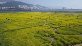 Festival de la flor del Canola de Yuchae en el río de Nakdong, Busán, Corea del Sur, Asia almacen de video