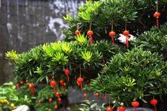 Festival de mola chinês Pinho e lanternas chinesas fotografia de stock