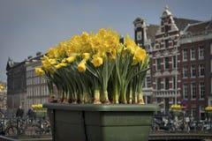 Festival de primavera de flores en Amsterdam Narcisos en una tina enfrente del edificio en el puente en el canal Foto de archivo libre de regalías