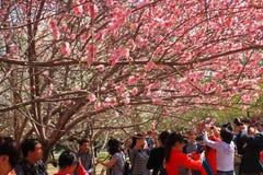 Festival de Sakura Imagen de archivo