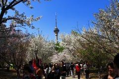 Festival de Sakura Imagenes de archivo
