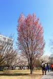 Festival de Sakura Fotos de archivo libres de regalías