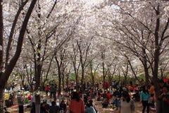Festival de Sakura Imagen de archivo libre de regalías