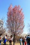 Festival de Sakura Foto de archivo