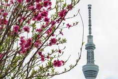 Festival de Sakura-matsuri de parc de Sumida, Taito-ku, Tokyo, Japon sur Apr7,2017 : La pêche rose fleurit avec Tokyo Skytree à l Photos stock