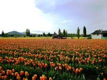 Festival de tulipe de vallée de Skagit Images libres de droits