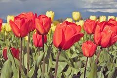 Festival de tulipe de vallée de Skagit Photo stock