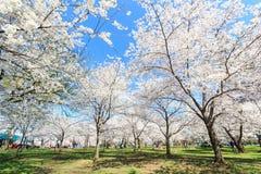 Festival del flor de cereza en Washington DC Imagen de archivo libre de regalías
