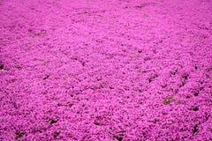 Festival del Giappone Shibazakura Fotografie Stock