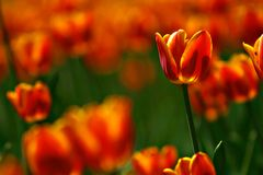 Festival del tulipán Foto de archivo