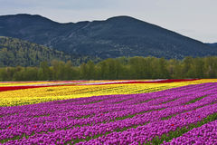 Festival del tulipán - Agasiz - Columbia Británica Fotos de archivo