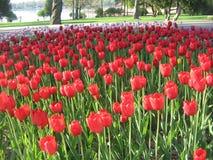 Festival del tulipán de Holanda en el 7 de mayo fotografía de archivo libre de regalías