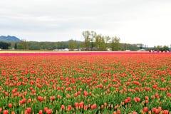 Festival del tulip?n del valle de Skagit foto de archivo