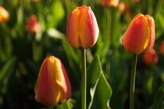 Festival del tulipano Fotografia Stock Libera da Diritti