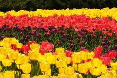 Festival del tulipano Immagine Stock Libera da Diritti