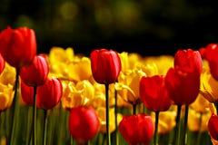 Festival del tulipano Fotografie Stock Libere da Diritti