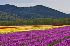 Festival del tulipano - Agasiz - Columbia Britannica Fotografie Stock