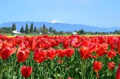 Festival del tulipano nella valle di Skagit Immagini Stock Libere da Diritti