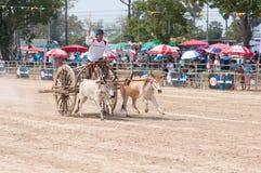 Festival di corsa del carrello della mucca in Tailandia Fotografia Stock Libera da Diritti