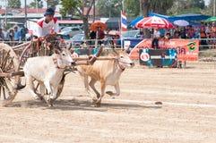 Festival di corsa del carrello della mucca in Tailandia Immagine Stock