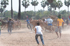 Festival di corsa del carrello della mucca in Tailandia Fotografia Stock