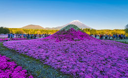 Festival Fujis Shibazakura Lizenzfreies Stockfoto