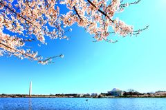 Festival nazionale del fiore di ciliegia Fotografie Stock