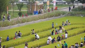 Festival participants gather to catch grasshoppers in golden rice field at Gimje Horizon Festival stock footage