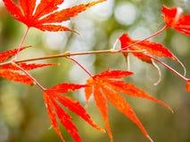 Festival turístico atractivo de las hojas de arce rojas del otoño en Japón imagen de archivo libre de regalías