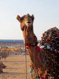 Festival von Kamelen in Indien stockfotos